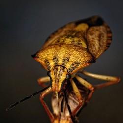 Yellow Beetle ...